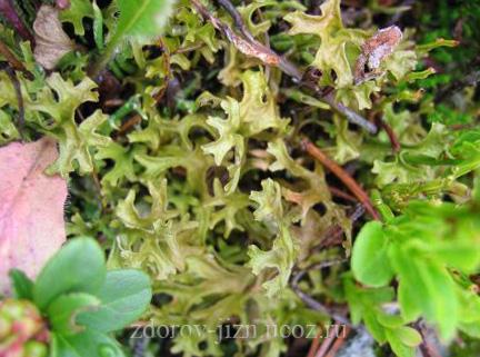 Исландский мох лечебные свойства, противопоказания и применение