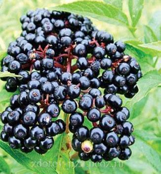 Бузина черная лечебные свойства, противопоказания и рецепты