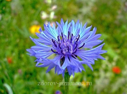 Василек синий применение, полезные свойства и противопоказания
