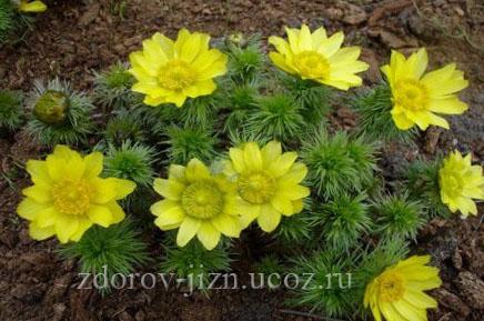 Горицвет весенний - адонис весенний применение, польза и вред