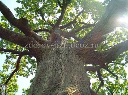 Дуб - кора дуба применение, полезные свойства и противопоказания